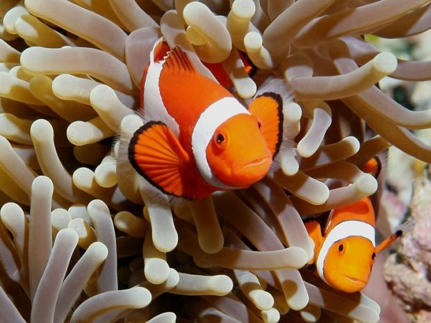 Sea Anemone and Clownfish relationship Commensalism